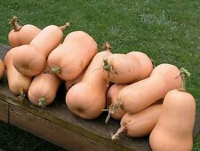 Squash- Waltham Butternut- Heirloom- 30+ Seeds     $1.69 Max Shipping/order