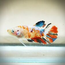 "Live Betta Fish - Female Halfmoon -""Fancy Koi"" Betta High Quality (QAP176)"