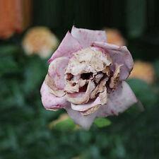 50 Rare Death Rose Seeds Mysterious Plant Snapdragon Garden Flower Unique