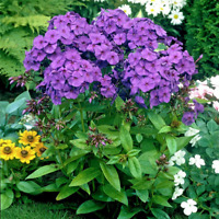 Home Garden Plants Bonsai Perennial PHLOX Planting Flowers NEW T C 100 Pcs Seeds