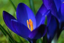 winterharte Krokus blau Blumenzwiebeln schnellwüchsige exotische Pflanzen Garten