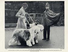 OLD ENGLISH SHEEPDOG LADY AND DOGS CROSS ROAD POLICEMAN STOPS TRAFFIC 1934 PRINT