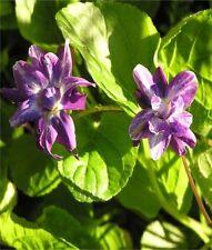 Spring Semi-evergreen Medium Watering Plants & Seedlings