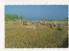 Panen Padi Bali Postcard 932a