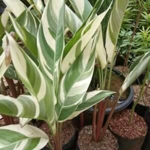 5 Banana Variegated plant Like Musa aeae Heliconia White Free Phytosanitary