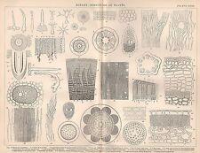 1874 PRINT ~ BOTANY STRUCTURE OF PLANTS ~ BARK BIRCH ROOT-HAIRS LEAF OAK STEM