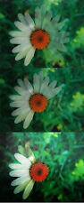 Oxeye Daisy - Flowers - 3D and Animated Lenticular Postcard  Greeting Card
