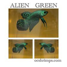 New listing Alien Betta Green( Male )
