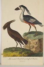 Ornithologie gravure ancienne aquarellée 1803 Boatbill huppé/morillon umbre