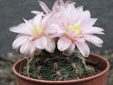 New listing cactus Gymnocallycium bruchii niveum Las Tre Cascades size pot is 5,5cm 仙人掌 サボテン