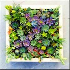 Lithops Living Cacti Stone 100 Pcs Seeds Cactus Succulent Colorful Meaty Plants