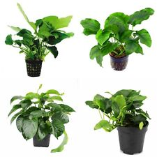 Anubias Mother Plant Mix - Nursery Choice (Total 12 Large Pots)