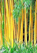 Der winterharte Gold Bambus - Golden Bamboo - ist ein Kontrastgeber im Garten.