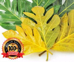 Dried Breadfruit Leaves 100% Pure Organic Natural Herbal
