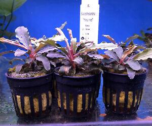 "3x Bucephalandra Theia ""Red"" Potted - Aquarium Plant - Tropical - Easy Grow"