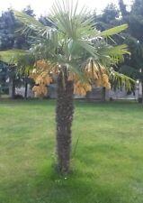 400 cm Hanfpalme Trachycarpus Fortunei, Freilandpalme, winterhart bis ca. -19°C
