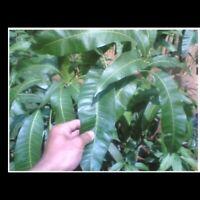 Organic Dried Mango Leaves,20 Leaves
