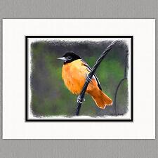 Baltimore Oriole Wild Bird Original Art Print 8x10 Matted to 11x14