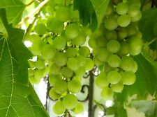 Large White Grape Vine Climbing Plant Perlette Edible Seedless Soft Fruit 3L Pot
