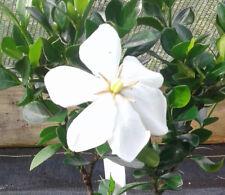 1 - Daisy Gardenia Flowering Shrubs in 4 Inch Pot