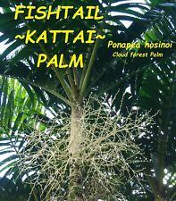 ~Fishtail Kattai Palm~ Ponapea hosinoi Cloud forest Palm Sml potd starter Plant