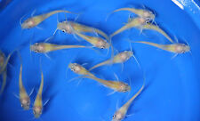 10 pack Live Albino Channel Catfish small, fish tank, koi pond or aquarium