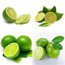 Fruit Seeds 20x Thai Organic Key Lime Aurantifolia Seeds Citrus Lemon Seeds