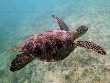 ANIMAL PHOTO REPTILE RED BACK SEA TURTLE 12 X 16 INCH ART PRINT POSTER HP2102