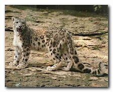 Snow Leopard Wildlife Animal Wall Decor Art Print Poster (16x20)