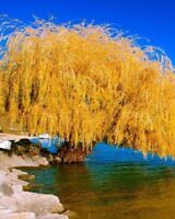5 Yellow Willow Seeds Tree Weeping Flower Giant Full Landscape Garded Yard 676
