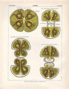 1883 Viktorianisch Botanical Aufdruck ~Desmid~ Reife Zelle Zeigt Multiplikation