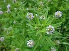Bulgarische Bockshornklee Saat,Trigonella foenum-graecum,Gewürzkraut Samen 50+
