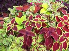 Coleus Wizard Mix Seed Compact Shade Loving Annual Indoors Compact Plant