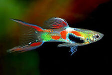 10+ Endler Liverbearer Guppy FREE SHIPPING Aquarium Fish LIQUIDATION SALE!!!