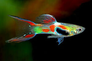 10+ Endler Liverbearer Guppy FREE SHIPPING Awesome Aquarium Fish