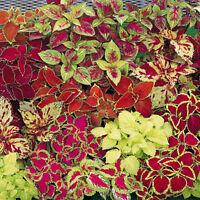 50Pcs Mix Colors Blumei Seeds Colorful Flower Leaves Plant Home Garden Decor