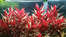 Live aquarium plants 3X Alternanthera reineckii Rosaefolia Us seller fresh water