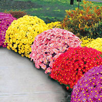 100X Ground-cover chrysanthemum seeds perennial daisy flower seeds mix colorYH