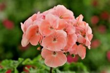 24 Geranium Horizon 'Light Salmon' Pelargonium Mini Plug Plants for potting on.
