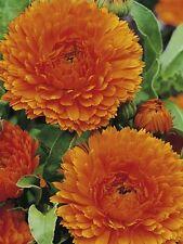 Calendula Ball's Orange 250 seeds *herbal tea*Cut flower* Eye catching* CombSH