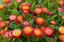 strawflower, Tall Double Mix 400 Seeds! GroCo