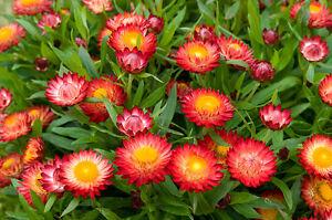 strawflower, TALL DOUBLE MIX 400 SEEDS! GroCo US USA