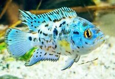 """3 Electric Blue Dempsey (0.5-""""1"""") Live Fish 2Day Fedex shipping"""