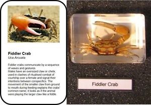 Real insects fiddler crab in crystal clear resin  information card on gift box