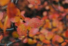 American Dwarf Birch, Shrub , Arctic Dwarf Birch (Betula glandulosa) 100 seeds