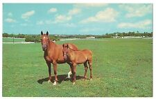 MOTHER AND SON Kentucky Thoroughbred Horses Blue Grass  Equine Postcard  KY