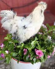 silkie chicken hatching eggs
