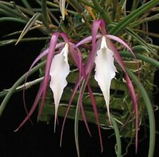 Orchid Brassavola Yaki Near Bloom Size Fragrant FREE PHYTOSANITARY CERTIFICATED