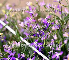 NIGHT SCENTED STOCKS - 3500 SEEDS - Matthiola LAVENDER BLUE - ANNUAL FLOWER