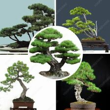 Bonsai Plants Pine Tree Blue Spruce Potted Courtyard Perennial Novel Garden Home